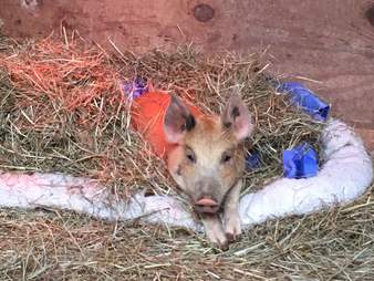 Rescued 'teacup' pig at Maryland sanctuary