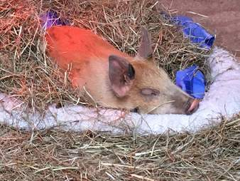 'Teacup' pig sleeping in dog bed at Maryland sanctuary