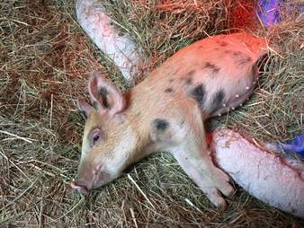 'Teacup' pig at sanctuary after being dumped with animal control officer
