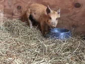 Abandoned 'mini' pig