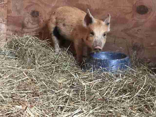 Teacup Pig Dumped When She Started Growing Bigger The Dodo