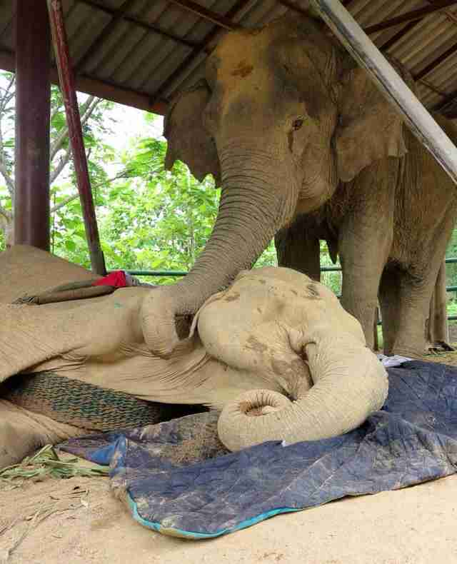 Elephant at sanctuary standing over dying friend