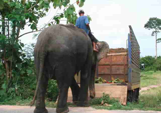 Ex-trekking elephant getting rescued in Thailand
