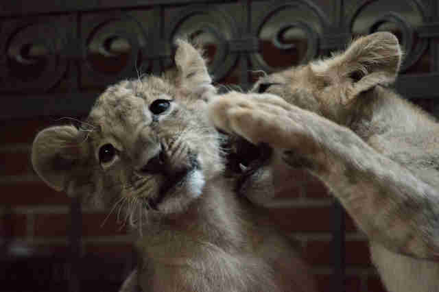 Lion cubs rescued from zoo in Bulgaria