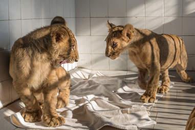 Rescued lion cubs