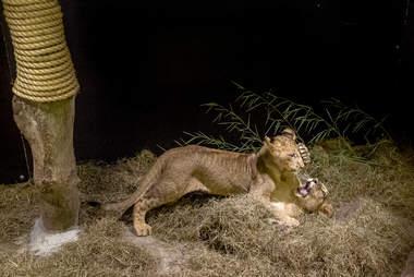 Rescued lion cubs at sanctuary