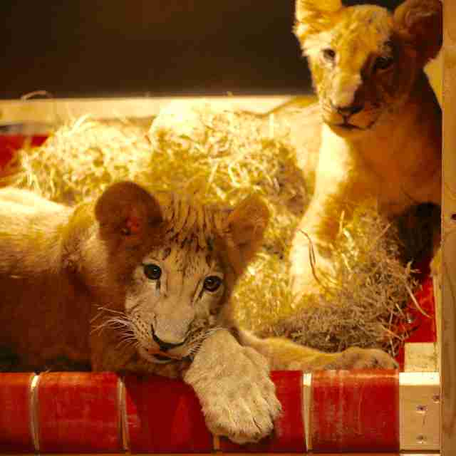 Rescued lion cubs