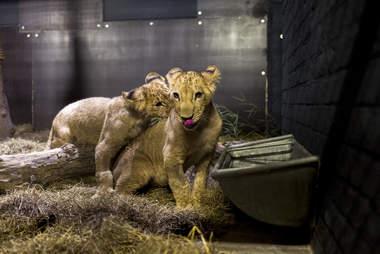 Rescued lion cubs arrive at sanctuary