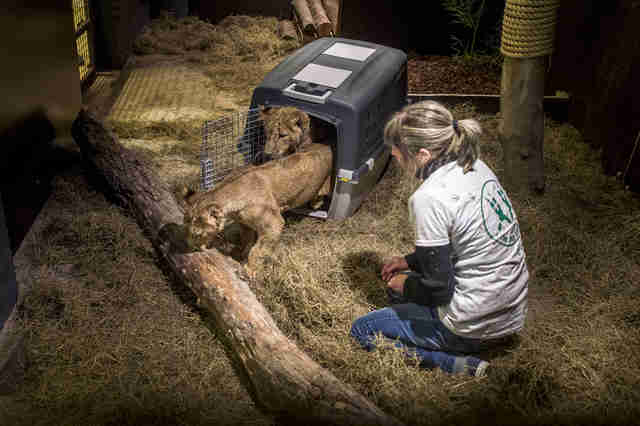 Rescued lion cubs arrive at sanctuary