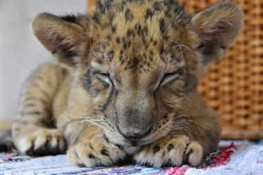 Rescued lion cub