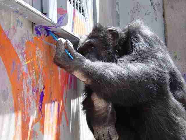 rescue chimp painting sanctuary cheetah