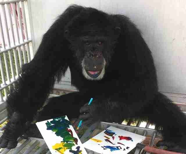 chimp rescue sanctuary
