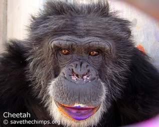 chimp cheetah rescue sanctuary paint