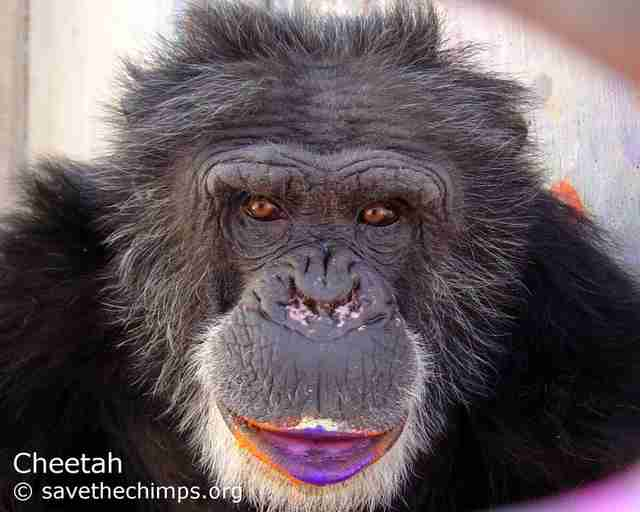 chimp cheetah rescue sanctuary paint