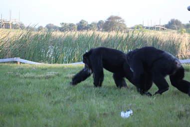sanctuary chimp laboratory animal testing