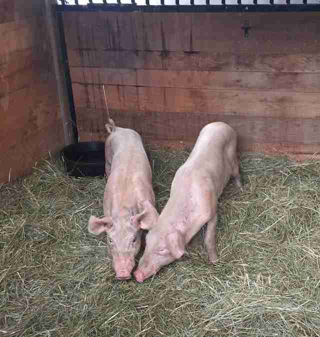 rescue pig brothers tennessee