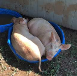 rescue pigs tennessee