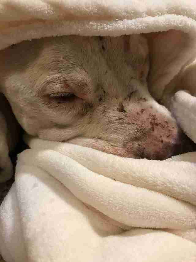 Rescued dog hiding beneath blankets