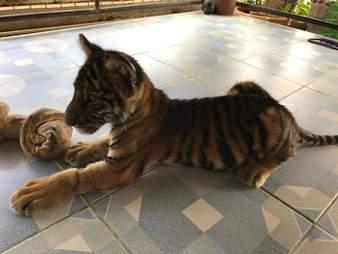 Baby big cat looking very skinny