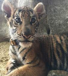 Baby tiger cub with collar