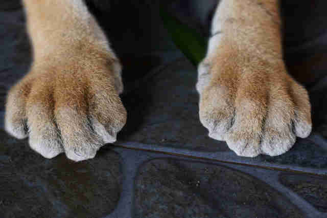 Cub's paws after the declawing operation