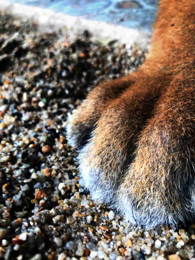 Big cat cub's paws after declawing