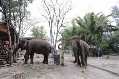 Captive elephants at Thailand zoo