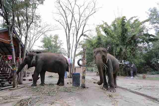 Captive elephants at Thailand zoo