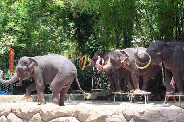 Elephants performing in show