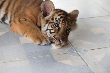 Tiger cub lying on floor