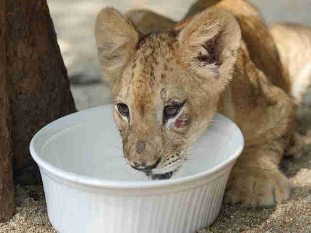 Lion cub drinking out of bowl
