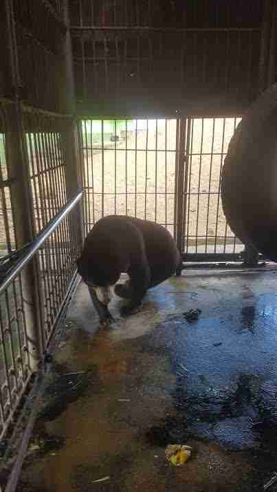 Sun bear pacing inside his enclosure