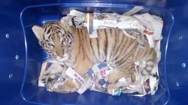 bengal tiger cub box mail mexico