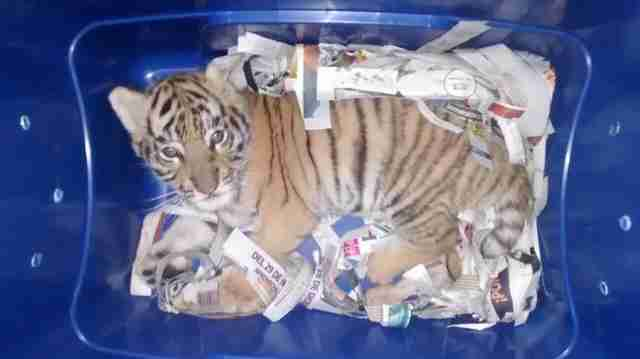 bengal tiger cub box mail mexico