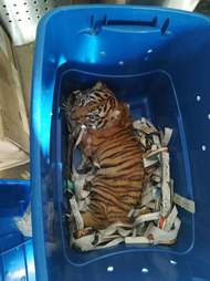 bengal tiger cub mail box mexico
