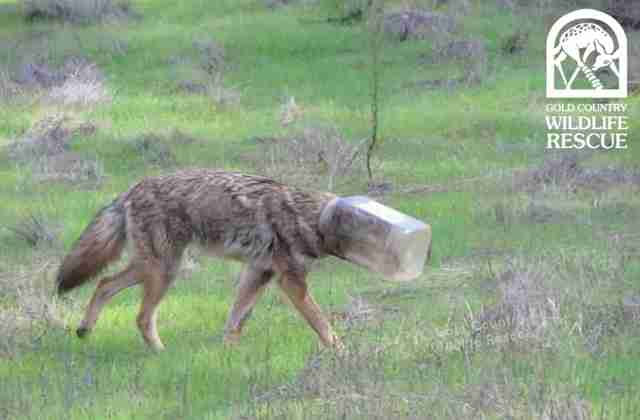 coyote head jar california