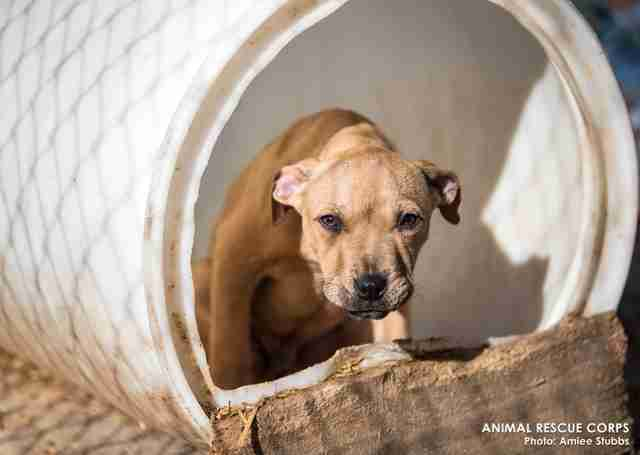 Puppy at suspected dog fighting ring in Humphreys County, TN