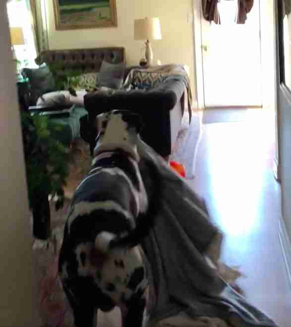 Floyd the Great Dane loves blankets
