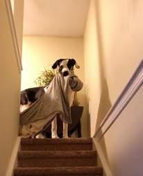 Floyd the Great Dane loves blankets