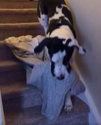 Floyd the Great Dane brings his blanket everywhere