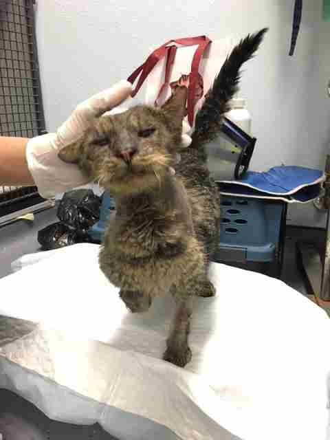 Valentino shelter cat recovering from mange