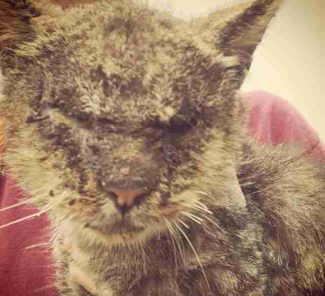 Shelter cat Valentino with mange in Los Angeles