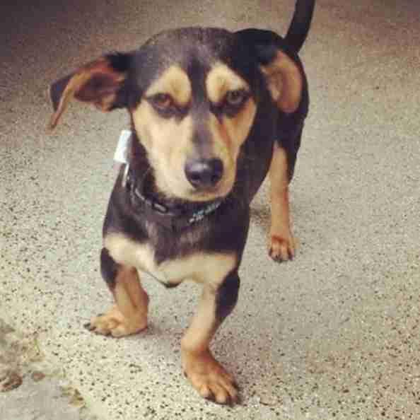 Rescued dachshund Moo-tae