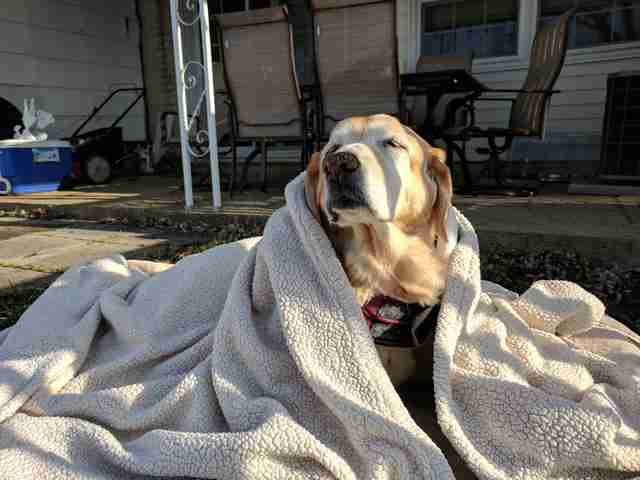 Yellow lab snuggled up in blankets