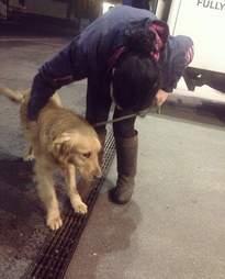 golden retriever dog meat survivor china