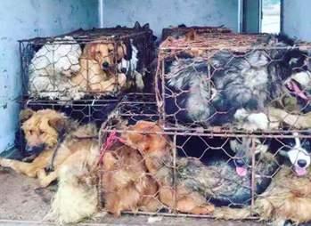 golden retriever dog meat survivor china clover
