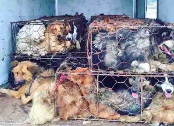 golden retriever dog meat survivor china clover