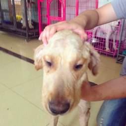golden retriever dog meat trade survivor china