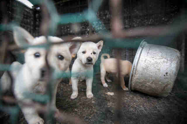 Jindo dogs at dog meat farm in South Korea