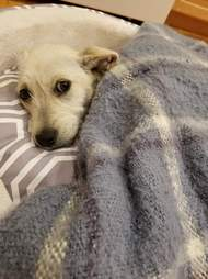 Dog snuggled up in blankets